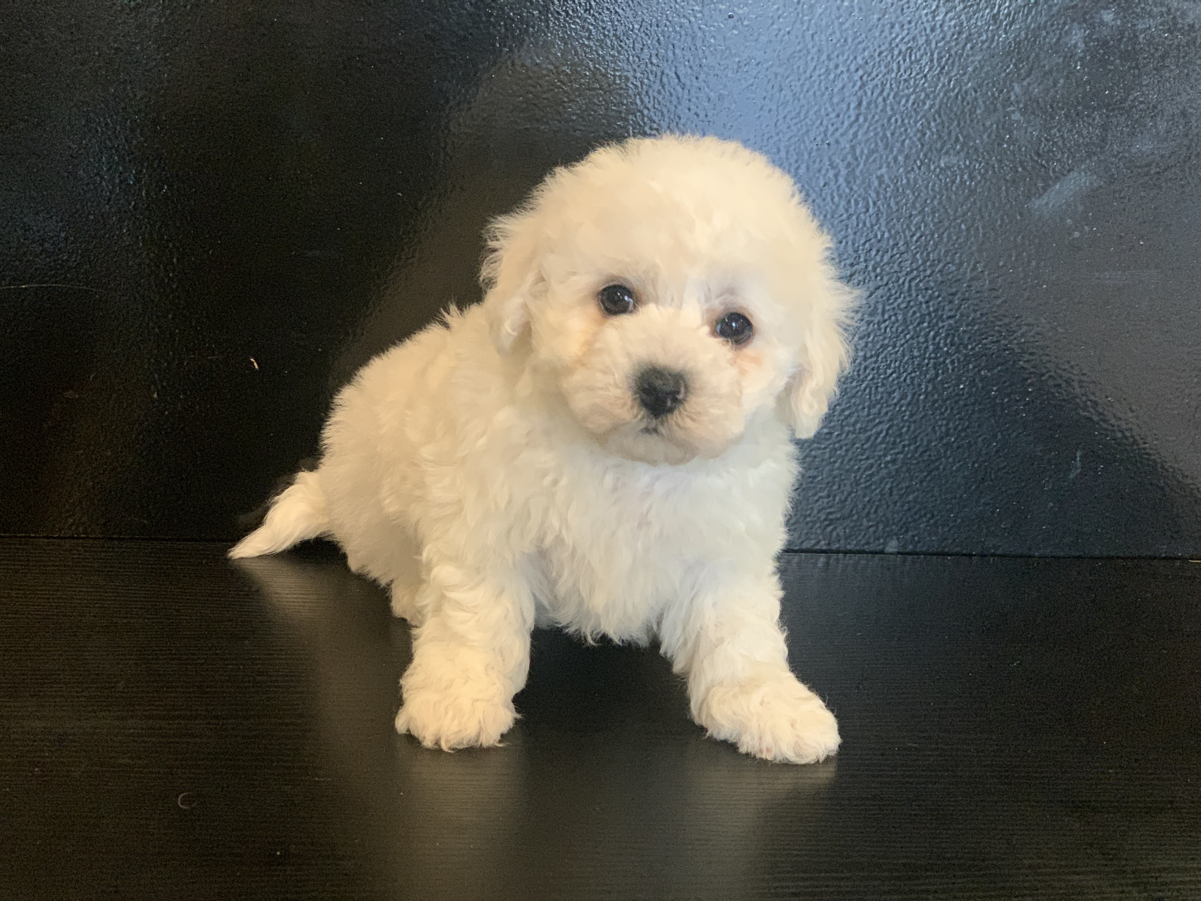 bichon frise male n01 Princes