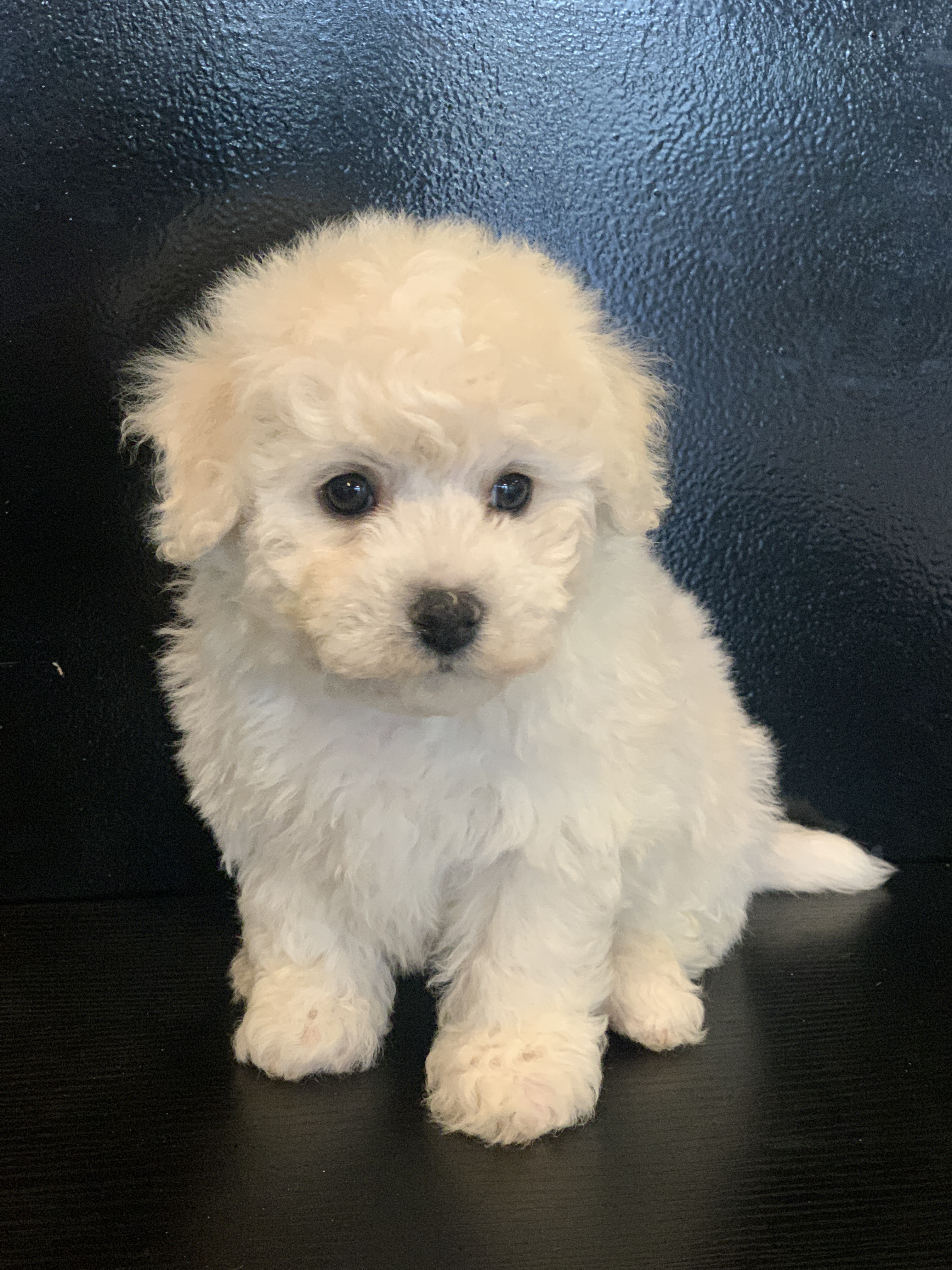 bichon frise male n0 2 princess